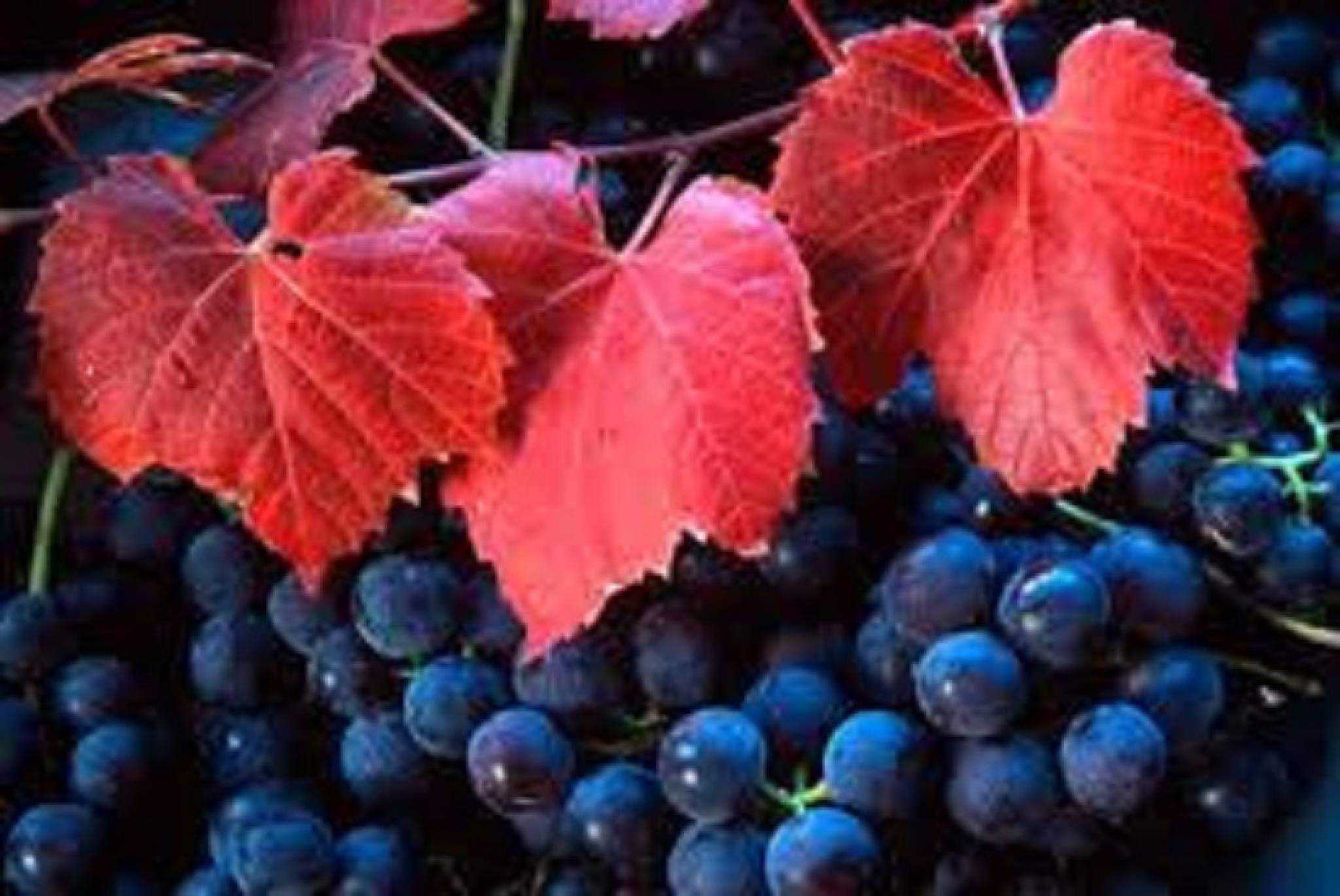 La vigne rouge : un remède naturel contre les problèmes